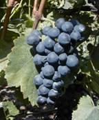 Burgundské modré